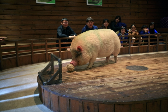 Pig Thema Park (돼지보러오면돼지) in Icheon, Gyeonggi-do Province, offers a pig show in which a small pig dribbles a ball into the goal.