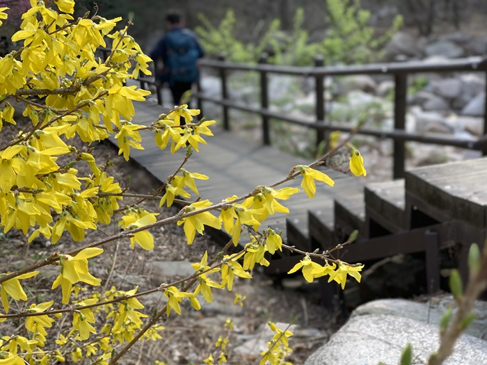 Forsythias come into view as one starts climbing Bukhansan Mountain from Gugi Exploration Support Center.
