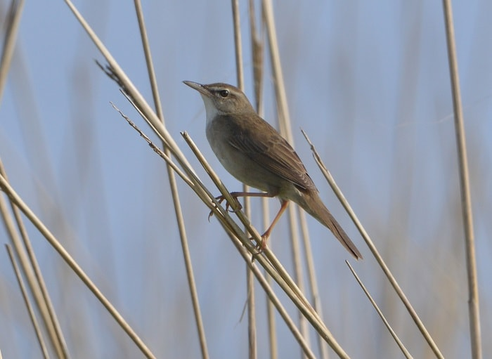 As a species of bush warblers, the Styan's grasshopper warbler is known for its high-toned and crisp chirping.