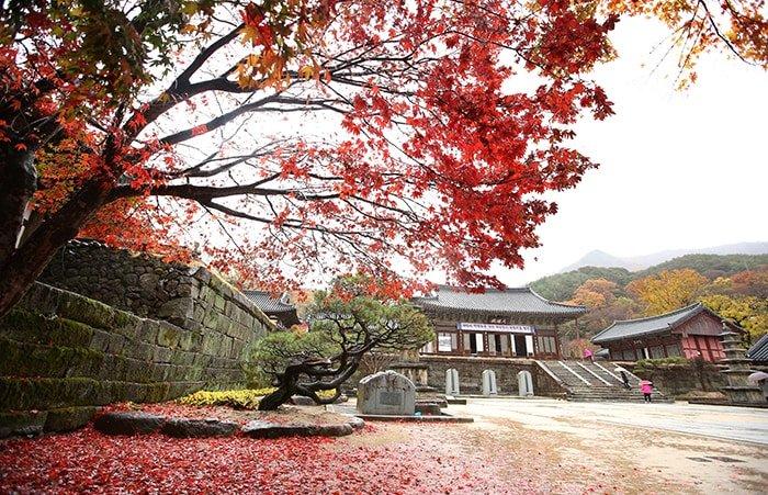가을비를 맞은 단풍나뭇잎이 화엄사 한편을 붉은 빛으로 물들이고 있다. 지리산에 자리잡은 화엄사는 가을 단풍으로도 유명하다.