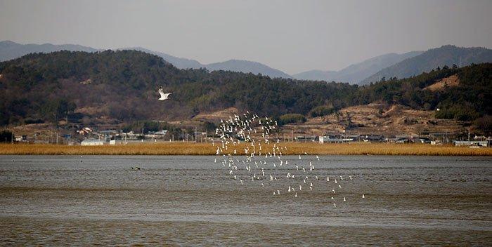 생태체험선을 타면 더 다양한 철새들을 관찰 할 수 있다. 25일 생태체험선 옆으로 민물도요가 군무를 펼치고 있다.