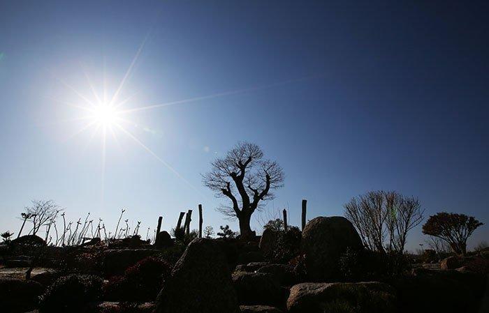 수령이 600년이 넘은 것으로 추정되는 팽나무. 제주도 암반 지역에 뿌리를 내리고 있던 이 팽나무는 순천만국가정원 조성 당시 기증되어 순천만에 터를 잡았다.