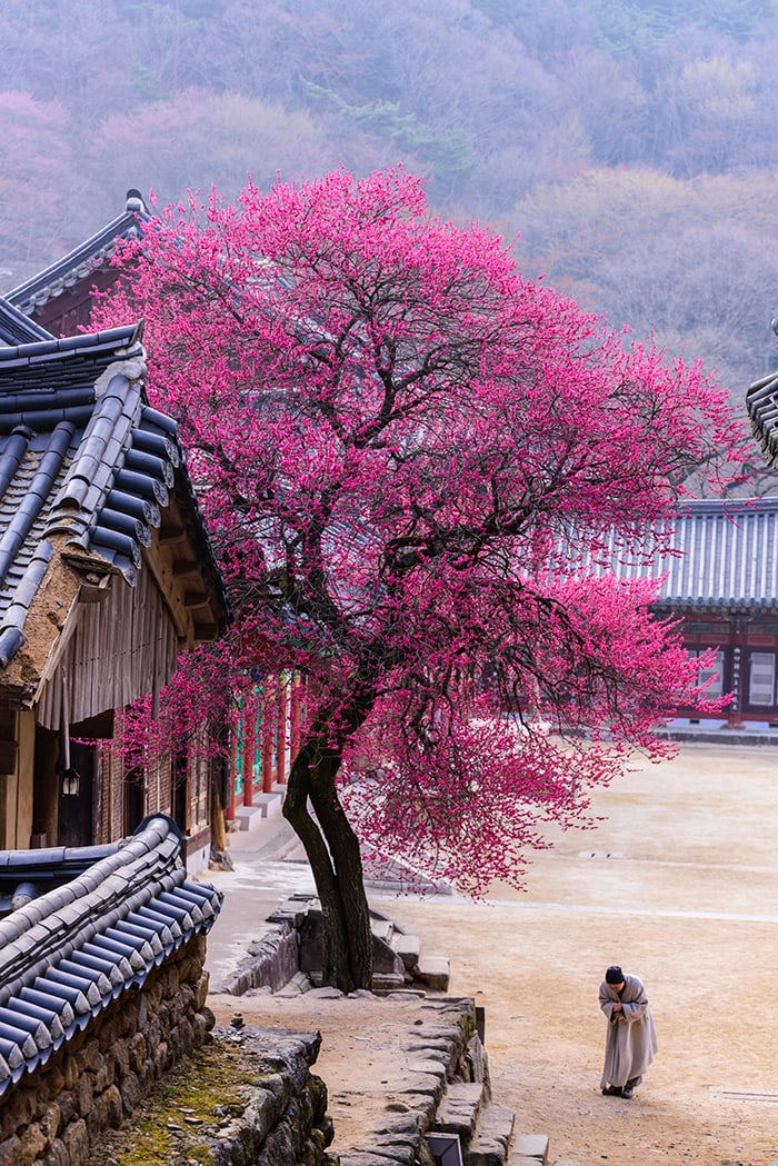 The gold prize winner, 'Red Apricot Blossoms at Hwaeomsa Temple,' shows how the spring scenery at Hwaeomsa Temple in Gurye-gun County, Jeollanam-do Province, brings beauty to the world.
