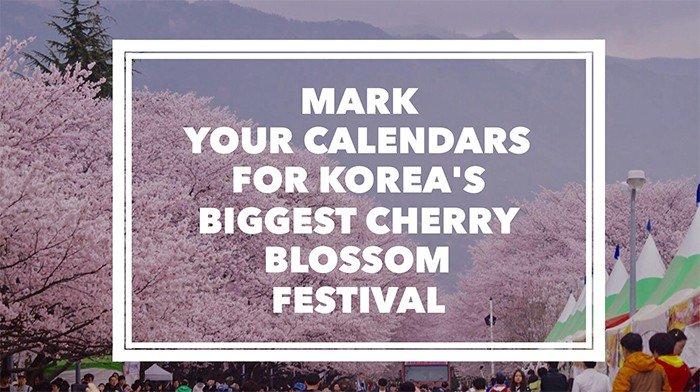 Korea's biggest cherry blossom festival