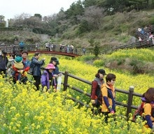 Spring has sprung along Jeju's canola trails