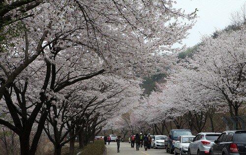 Silk Town Mountain Cherry Blossom Festival