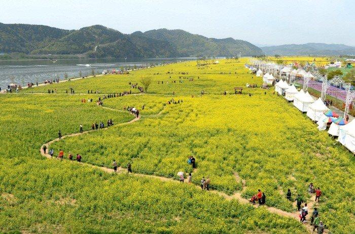 Changnyeong Nakdonggang Youchae Festival