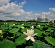Muan White Lotus Festival